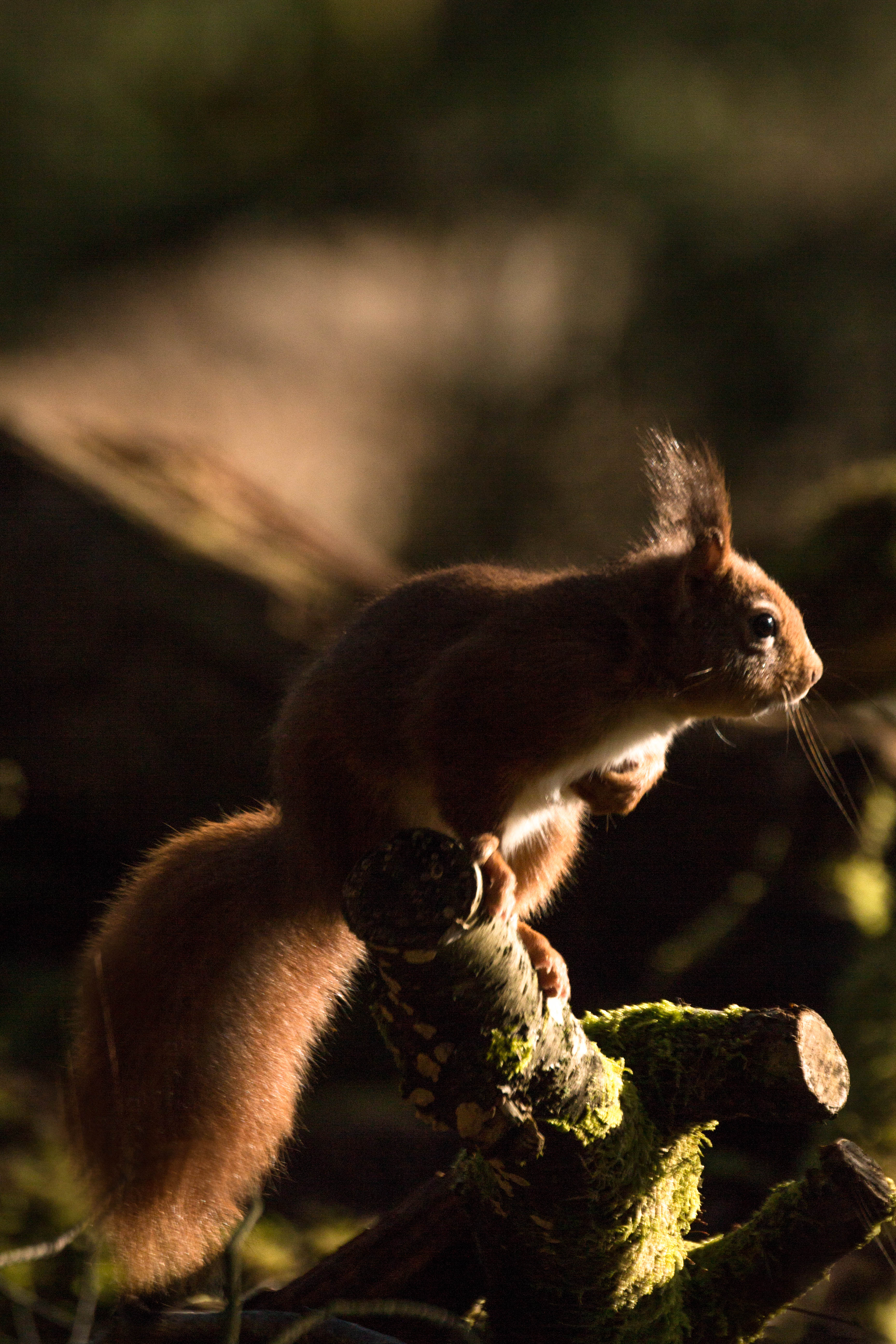 A red squirrel sat in heavy shadows, with only its face and tail highlighted.