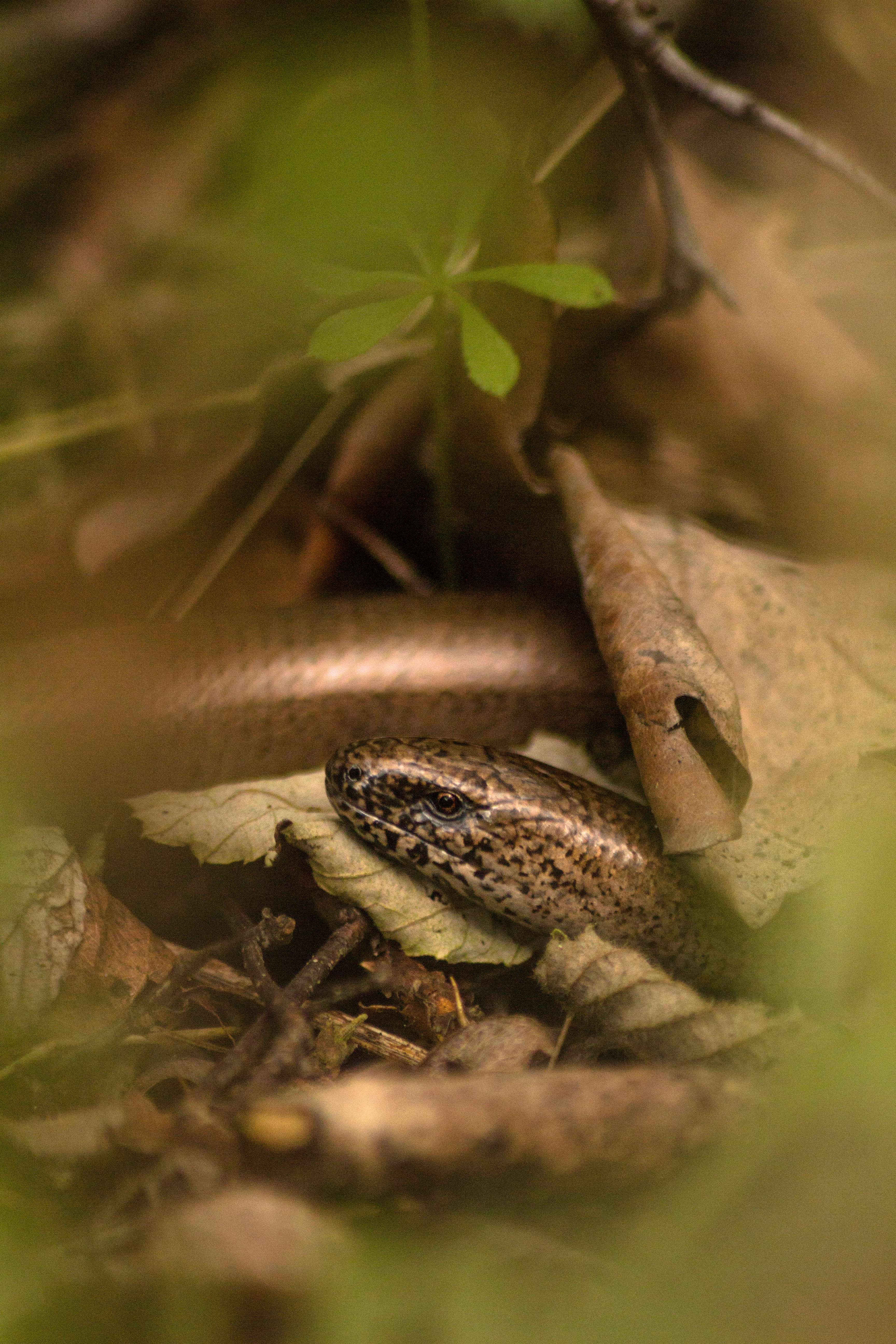 A slowworm on a woodland floor surrounded by leaf litter.